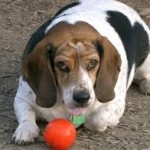 Una alimentación sana, equilibrada y ecológica y un poco de ejercicio contribuirán a reducir la posibilidad de tener un perro obeso.