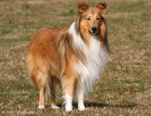 rough-collie